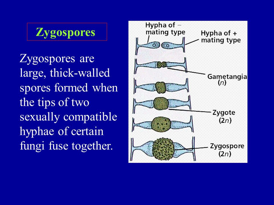 Zygospores Zygospores are large, thick-walled spores formed when the tips of two sexually compatible hyphae of certain fungi fuse together.