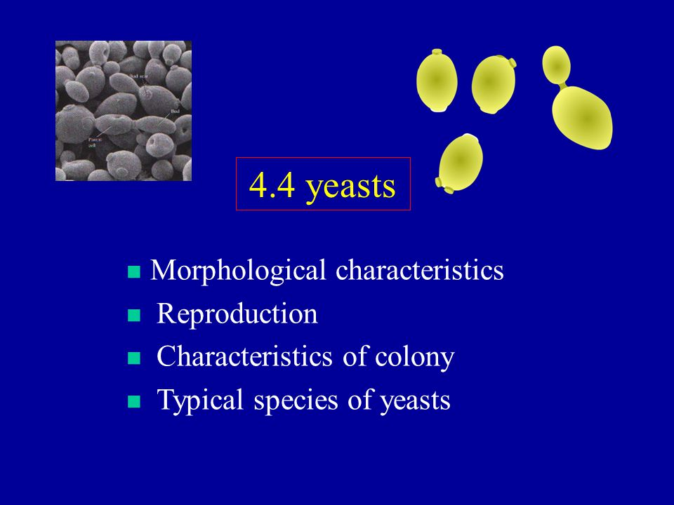 4.4 yeasts Morphological characteristics Reproduction
