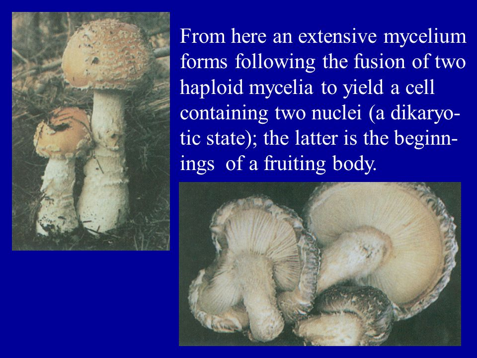 From here an extensive mycelium forms following the fusion of two haploid mycelia to yield a cell containing two nuclei (a dikaryo- tic state); the latter is the beginn-ings of a fruiting body.