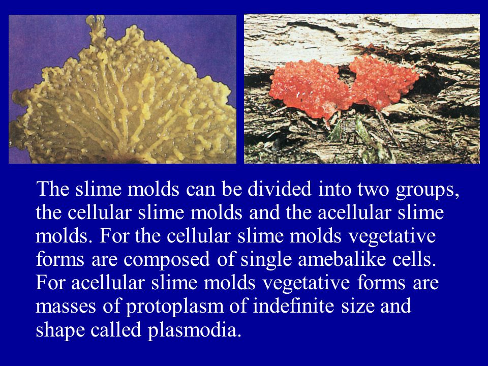 The slime molds can be divided into two groups, the cellular slime molds and the acellular slime molds.