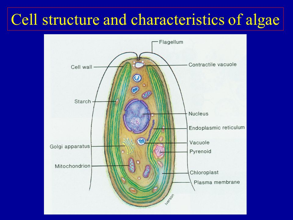 Cell structure and characteristics of algae