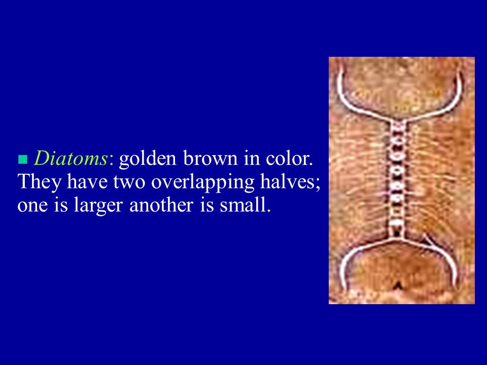Diatoms: golden brown in color