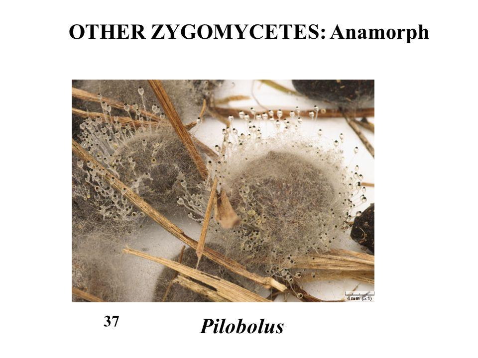 OTHER ZYGOMYCETES: Anamorph