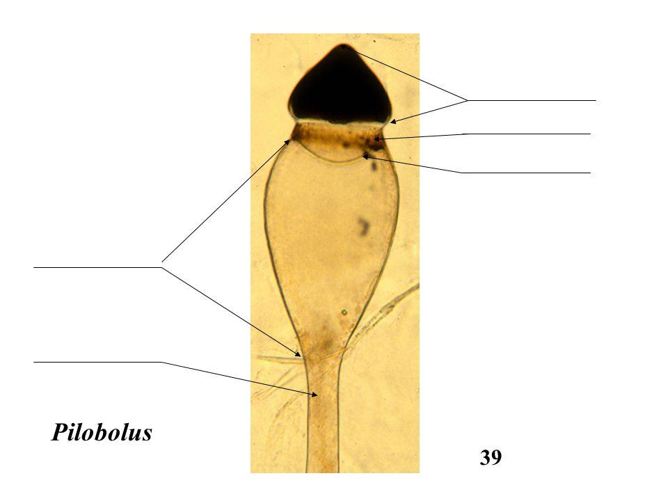 Pilobolus 39