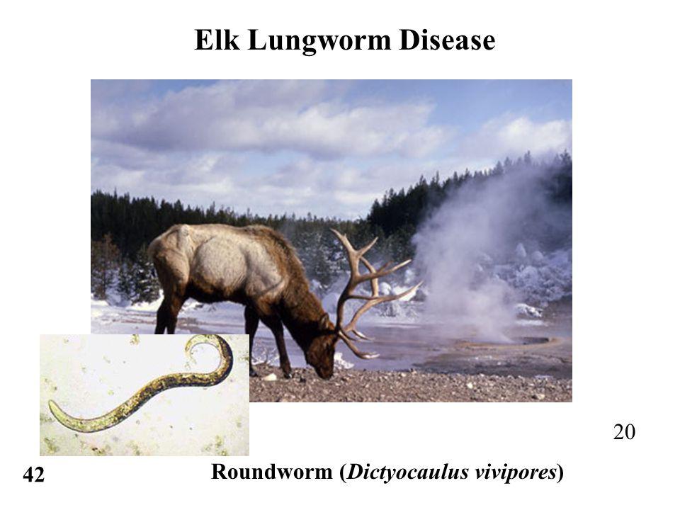 Elk Lungworm Disease 20 42 Roundworm (Dictyocaulus vivipores)