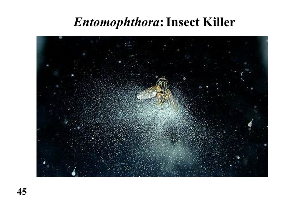 Entomophthora: Insect Killer