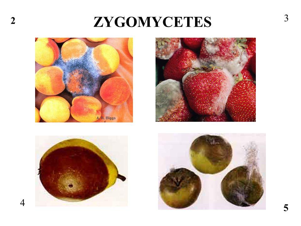 ZYGOMYCETES 3 2 4 5