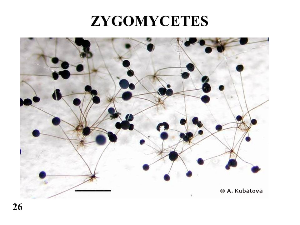 ZYGOMYCETES 26
