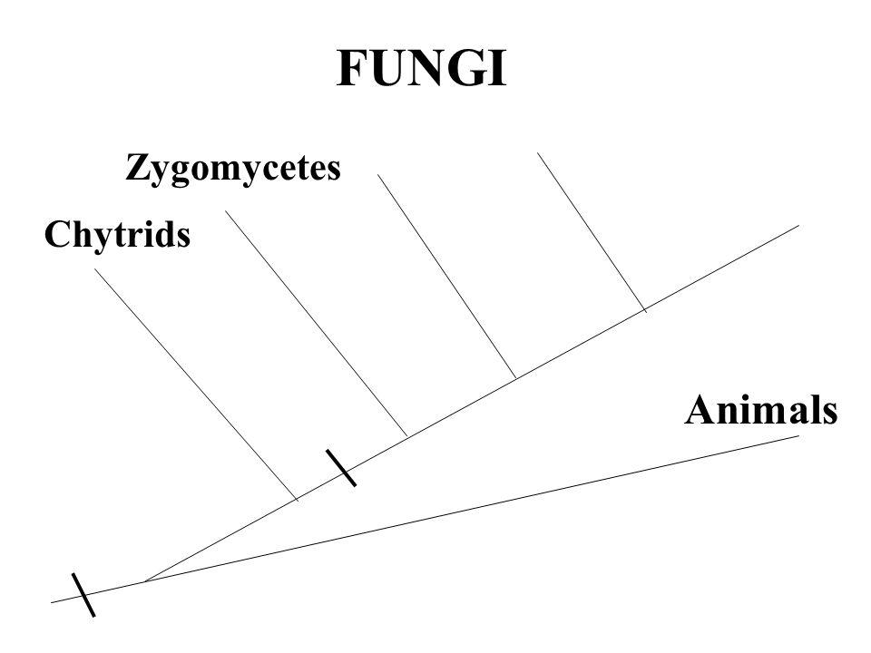 FUNGI Zygomycetes Chytrids Animals