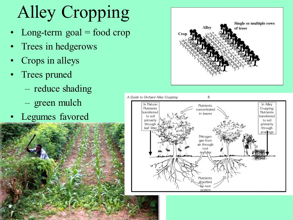 Alley Cropping Long-term goal = food crop Trees in hedgerows