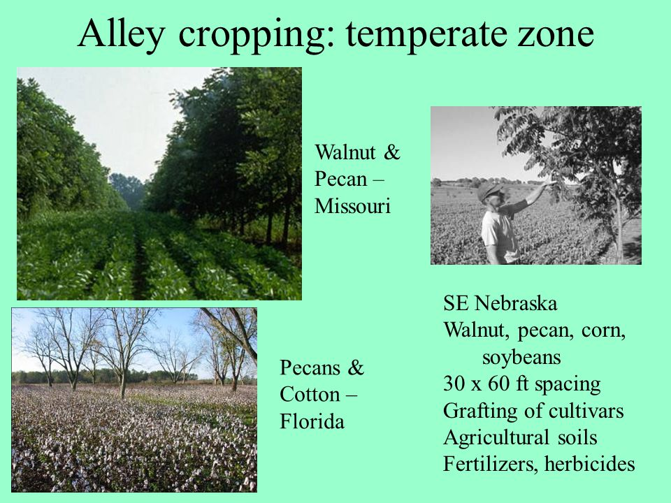 Alley cropping: temperate zone
