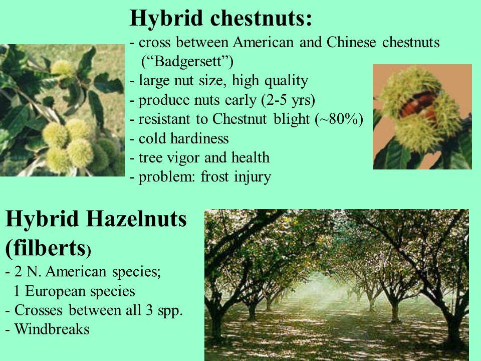 Hybrid chestnuts: Hybrid Hazelnuts (filberts)