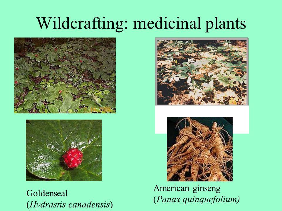 Wildcrafting: medicinal plants