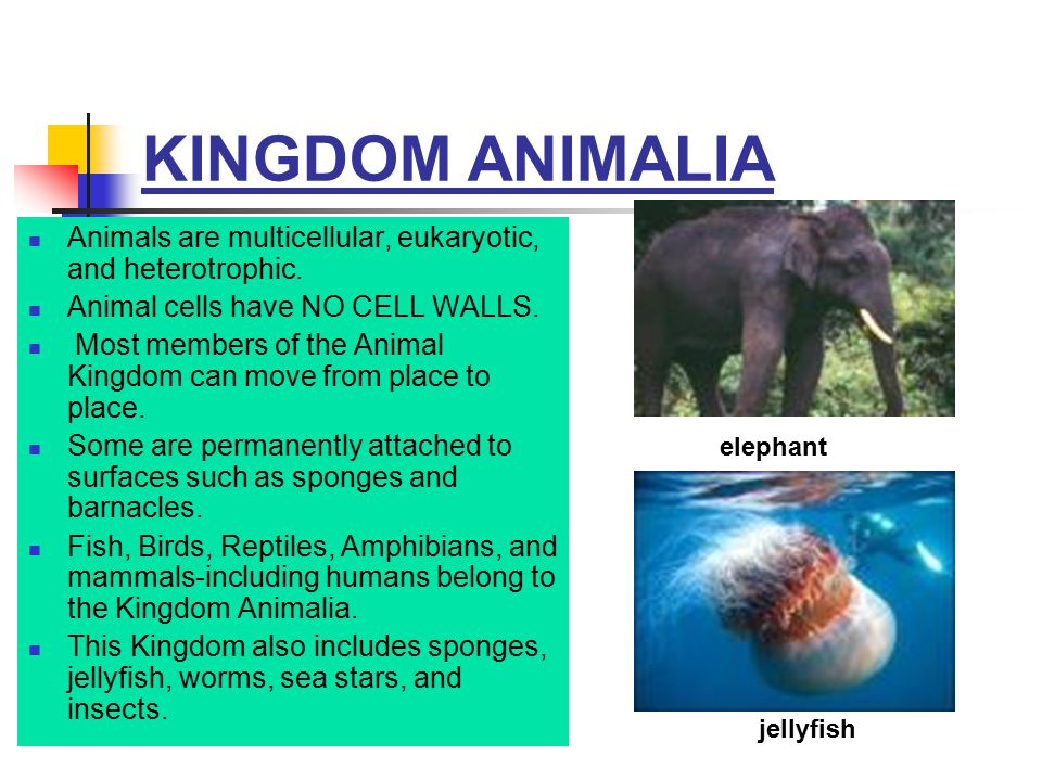 KINGDOM ANIMALIA Animals are multicellular, eukaryotic, and heterotrophic. Animal cells have NO CELL WALLS.