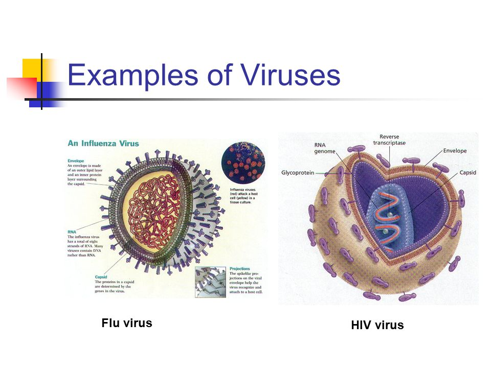 Examples of Viruses Flu virus HIV virus