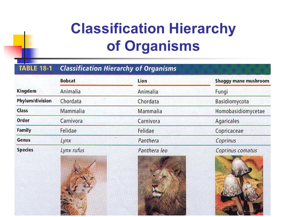 Classification Hierarchy of Organisms