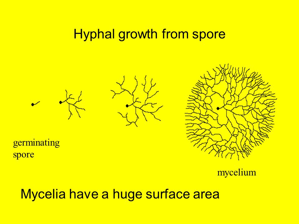 Hyphal growth from spore