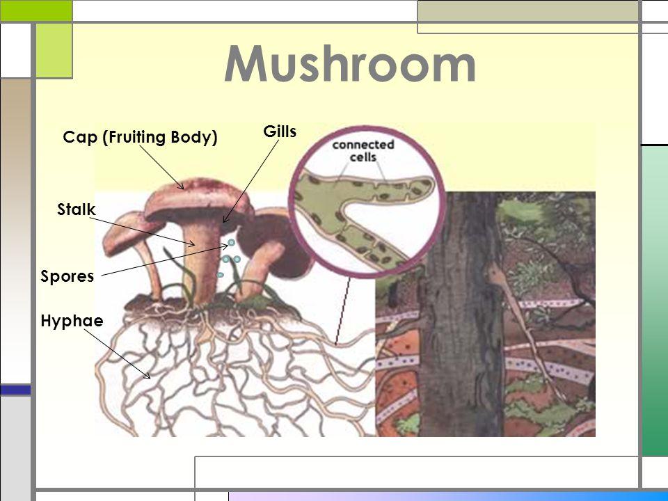 Mushroom Gills Cap (Fruiting Body) Stalk Spores Hyphae
