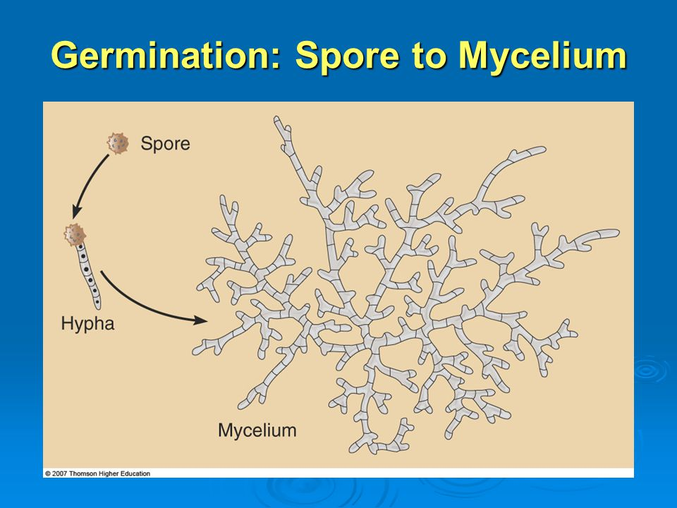 Germination: Spore to Mycelium