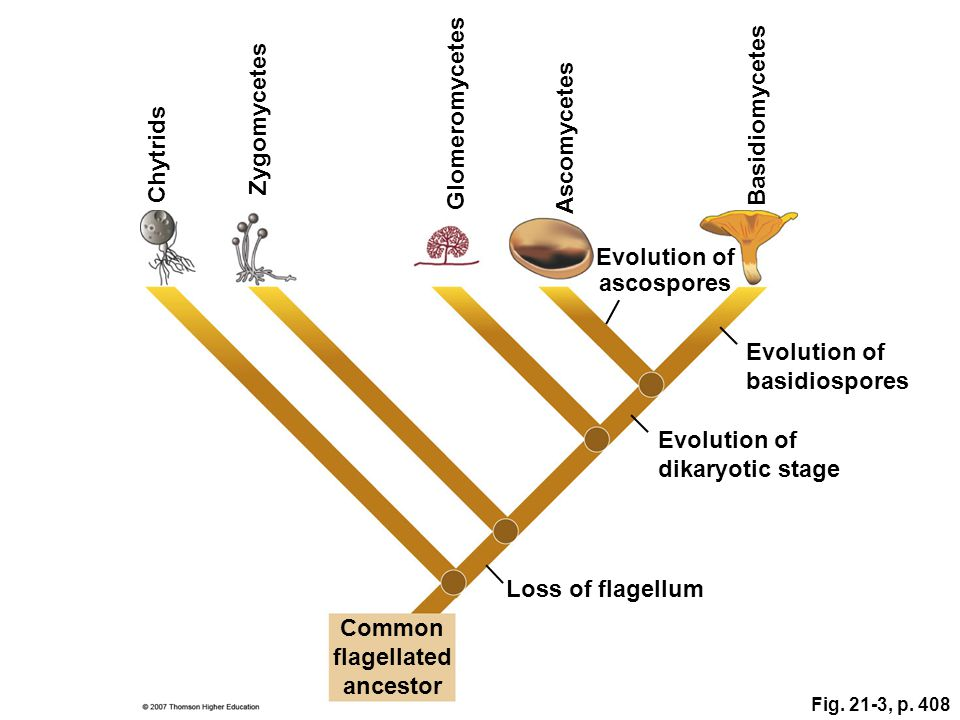 Evolution of ascospores Common flagellated ancestor