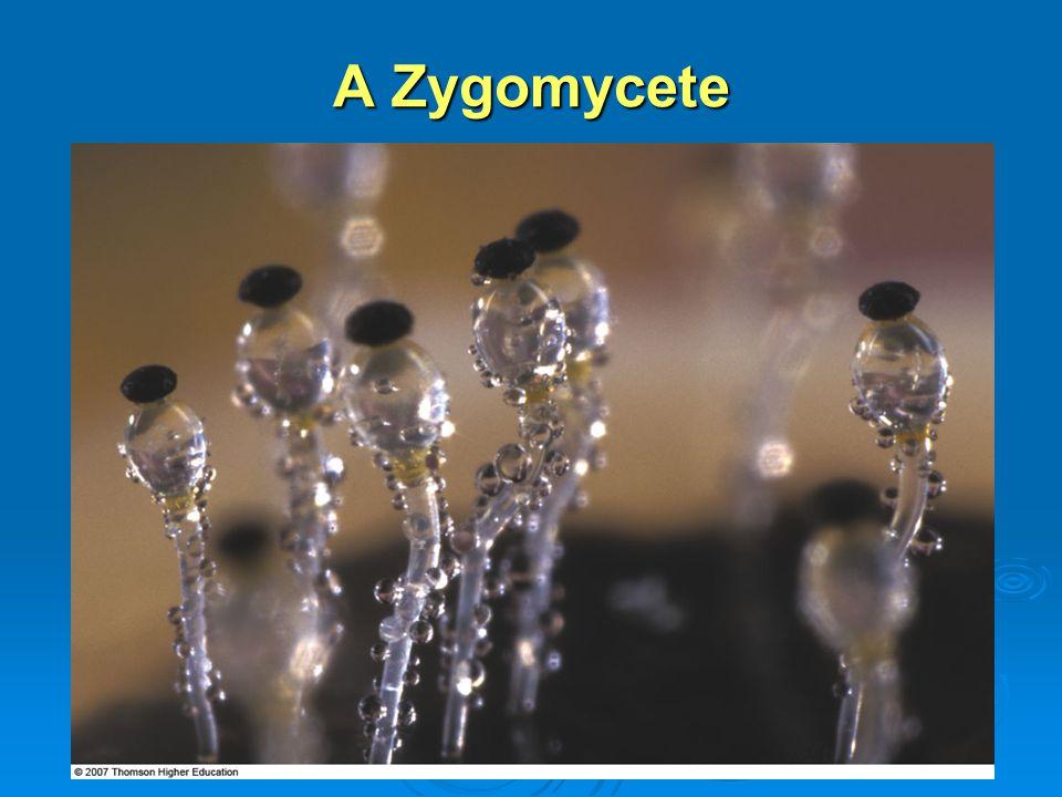 A Zygomycete