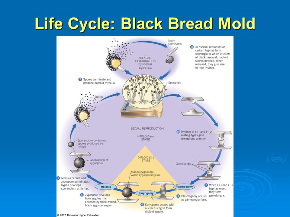 Life Cycle: Black Bread Mold