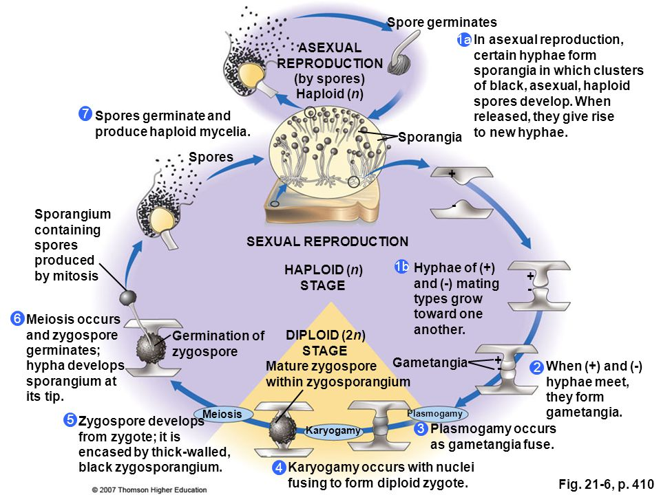In asexual reproduction, certain hyphae form