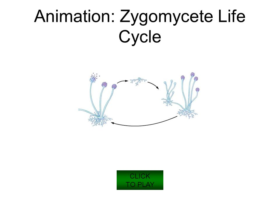 Animation: Zygomycete Life Cycle