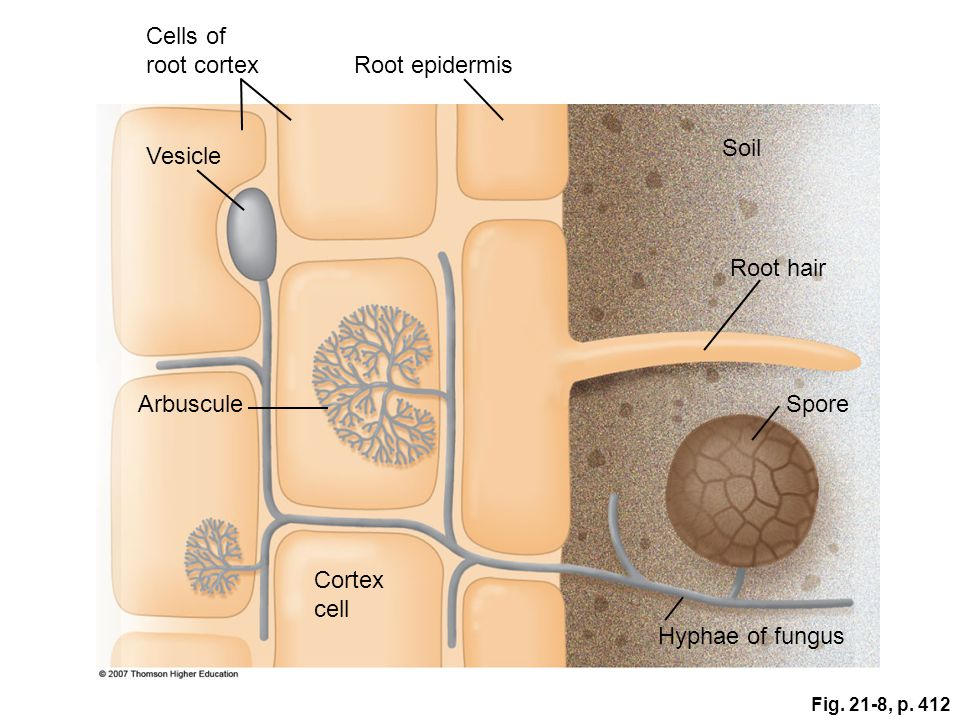 Cells of root cortex Root epidermis Soil Vesicle Root hair Arbuscule