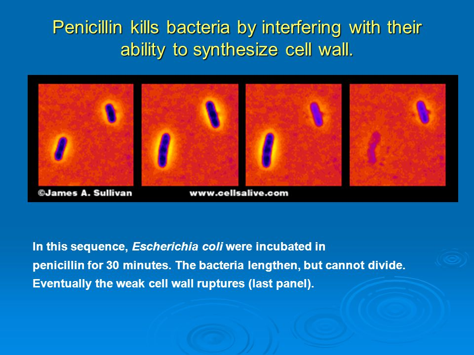 Penicillin kills bacteria by interfering with their ability to synthesize cell wall.