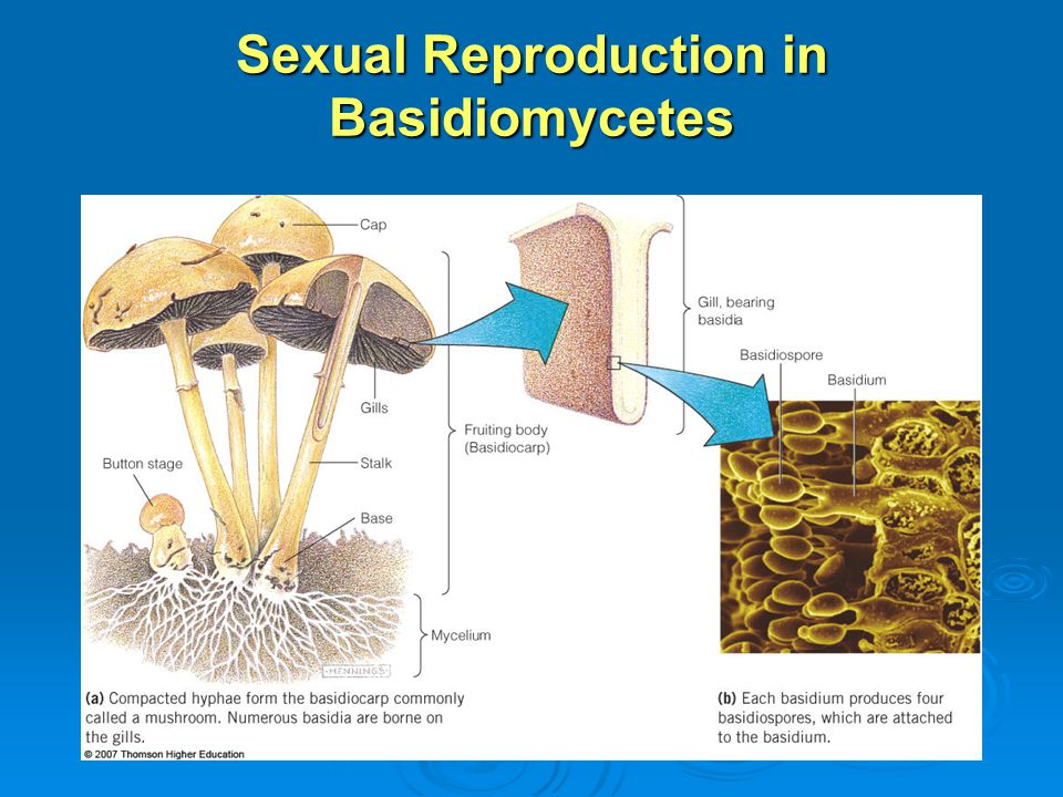 Sexual Reproduction in Basidiomycetes