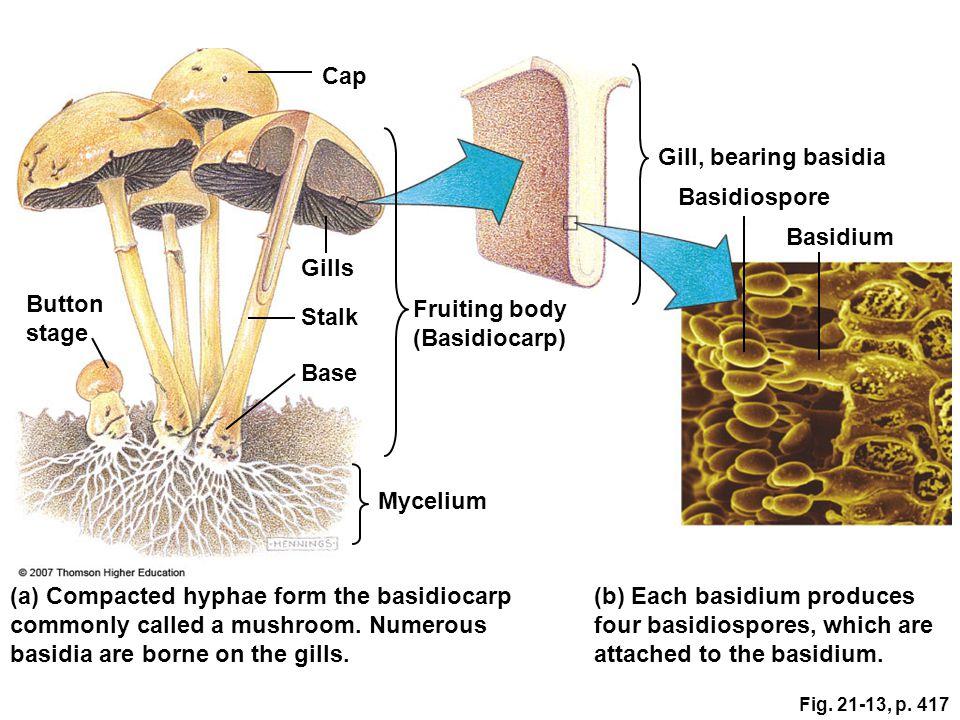 Cap Gill, bearing basidia Basidiospore Basidium Gills Button stage
