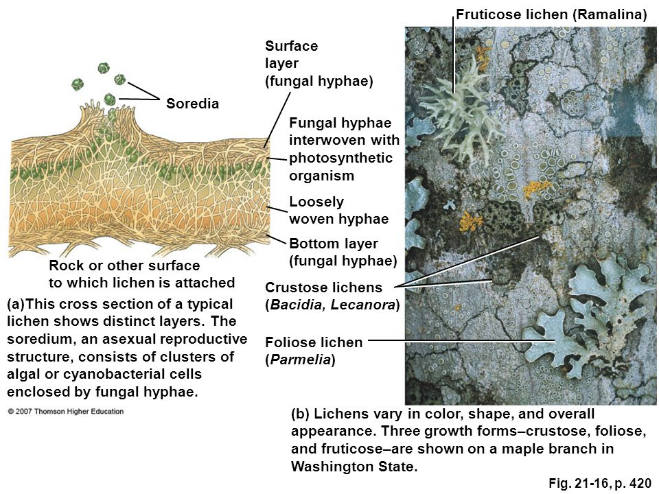 Fruticose lichen (Ramalina)