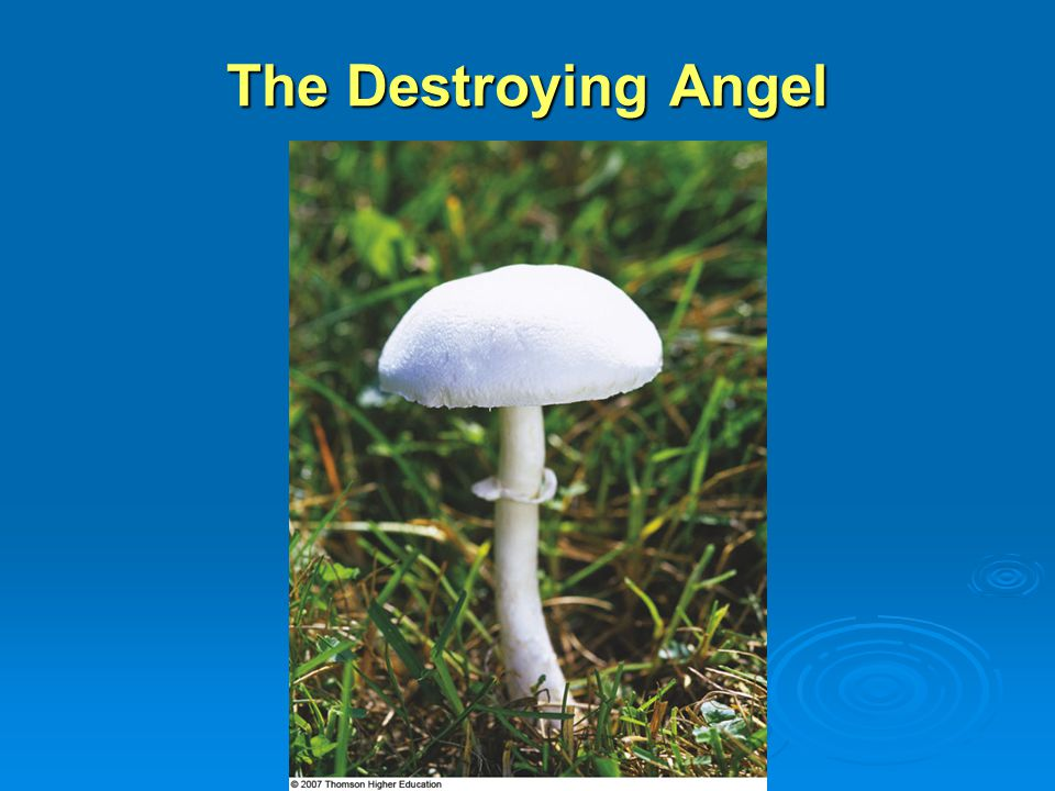 The Destroying Angel