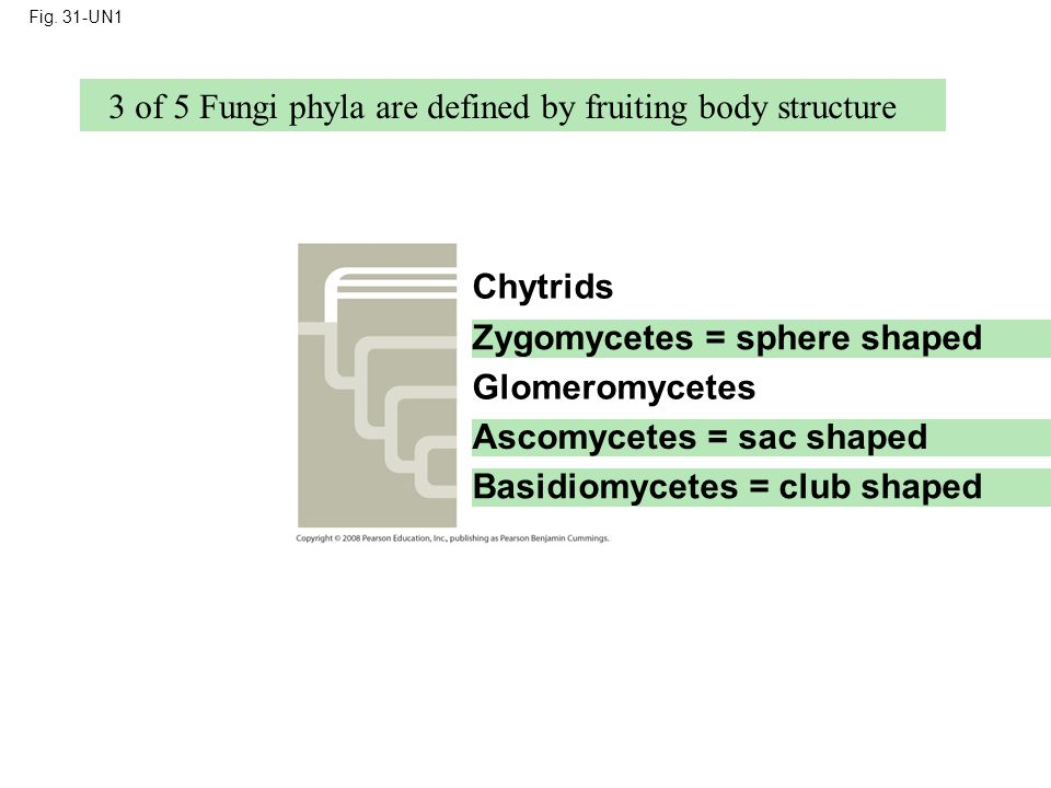 3 of 5 Fungi phyla are defined by fruiting body structure
