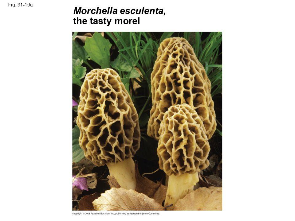 Fig. 31-16a Morchella esculenta, the tasty morel