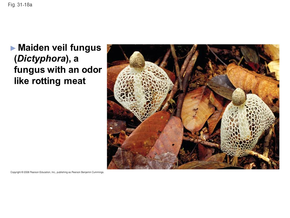 Maiden veil fungus (Dictyphora), a