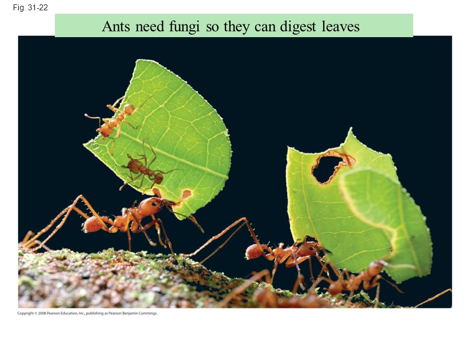 Ants need fungi so they can digest leaves