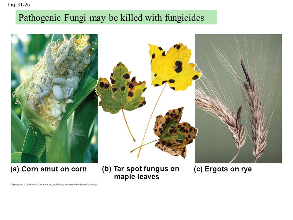 Pathogenic Fungi may be killed with fungicides