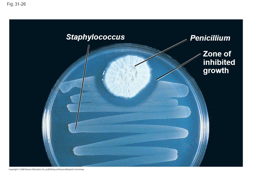Fig. 31-26 Staphylococcus Penicillium Zone of inhibited growth