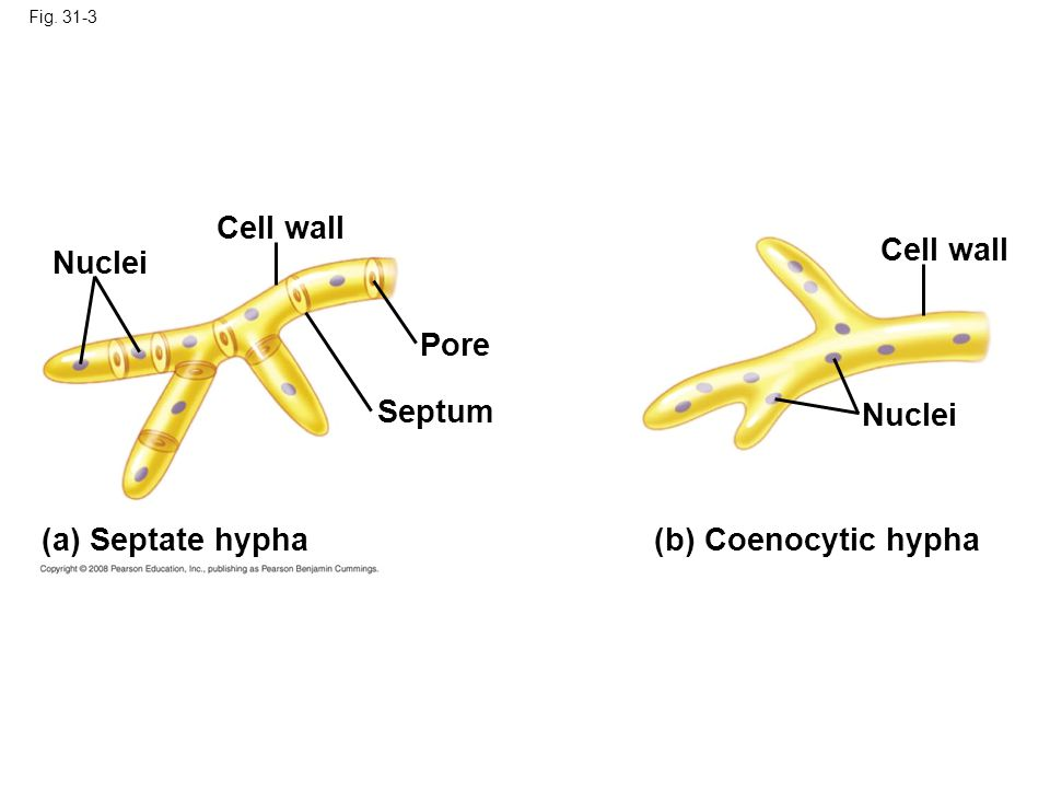 Cell wall Cell wall Nuclei Pore Septum Nuclei (a) Septate hypha