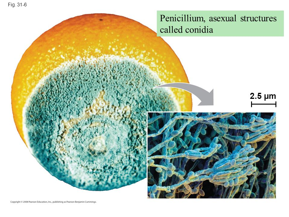 Penicillium, asexual structures called conidia
