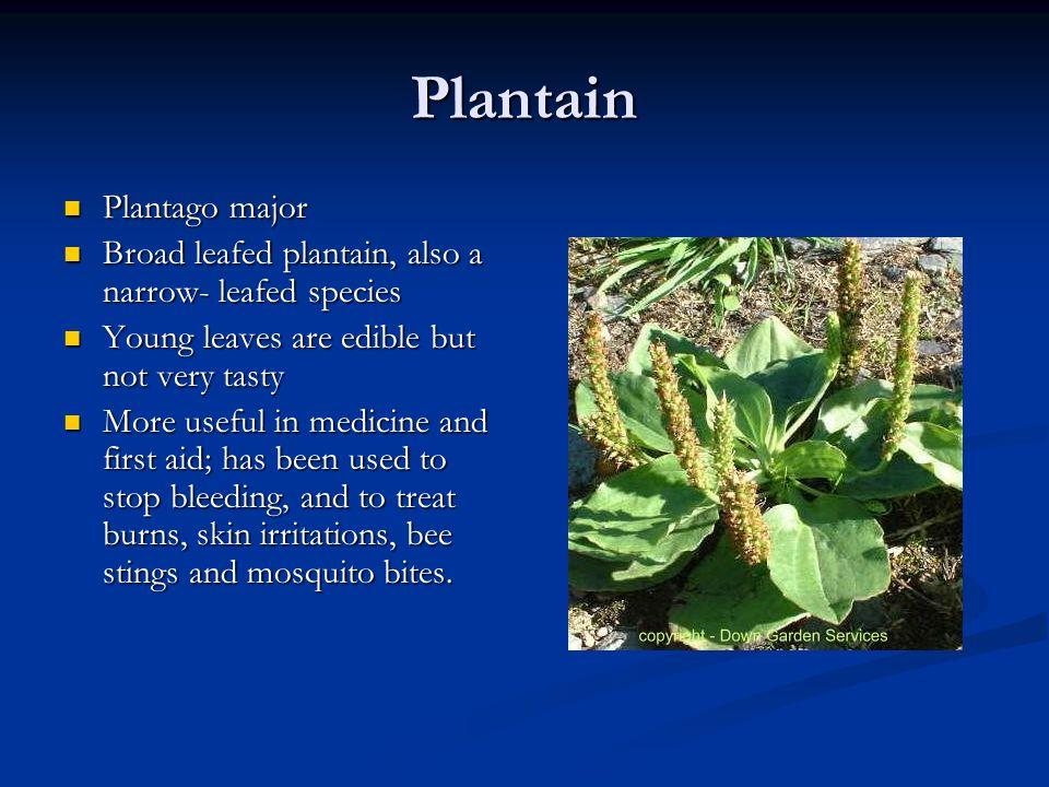 Plantain Plantago major