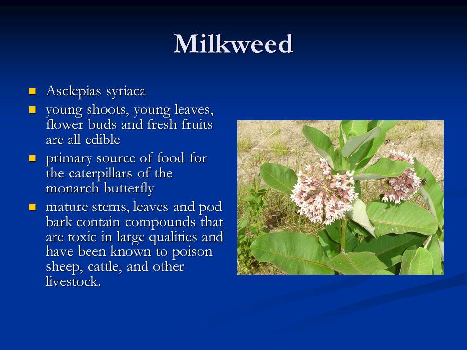 Milkweed Asclepias syriaca