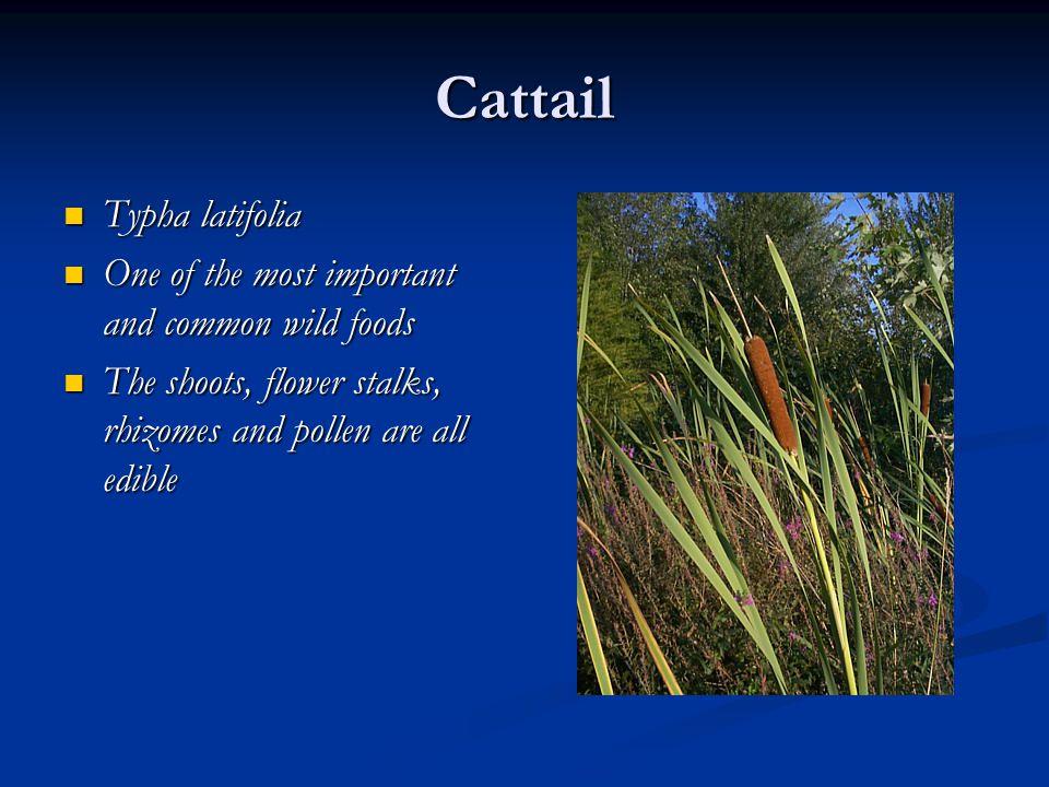 Cattail Typha latifolia