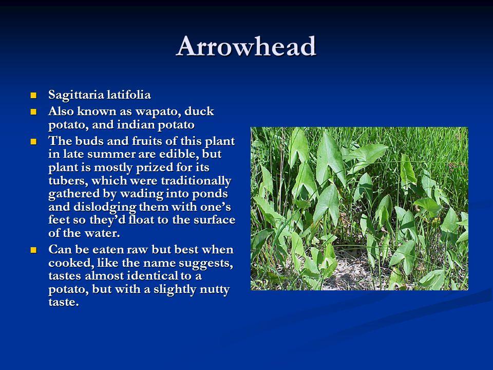 Arrowhead Sagittaria latifolia