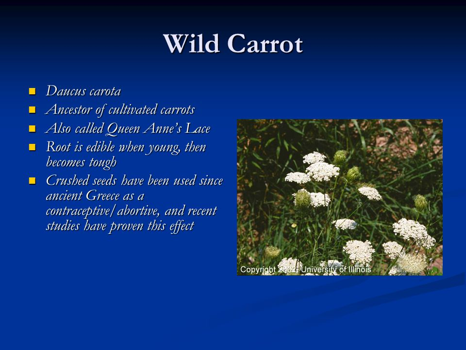 Wild Carrot Daucus carota Ancestor of cultivated carrots