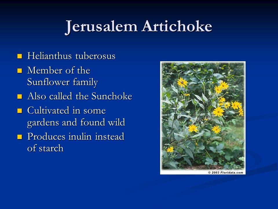 Jerusalem Artichoke Helianthus tuberosus