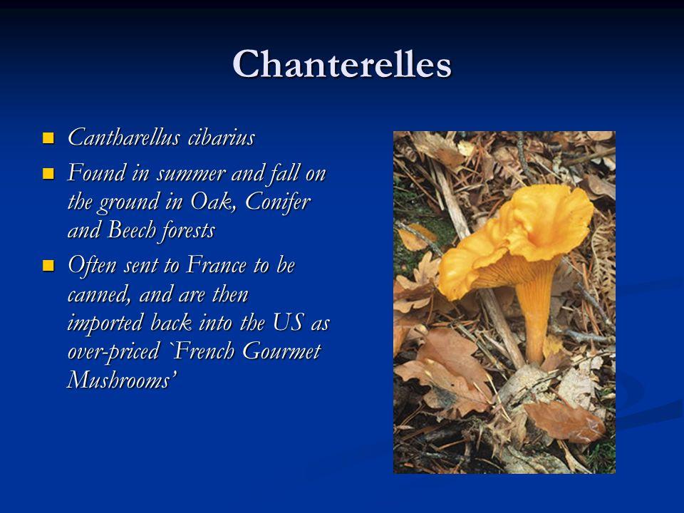 Chanterelles Cantharellus cibarius