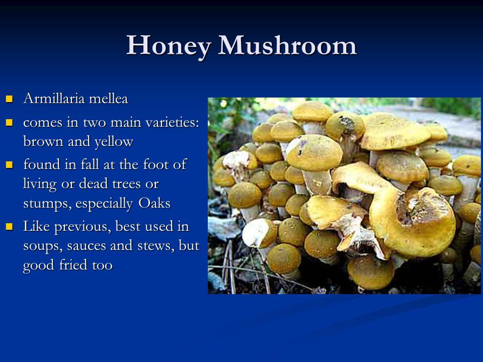 Honey Mushroom Armillaria mellea